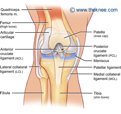 Diagram of knee joint showing ACL